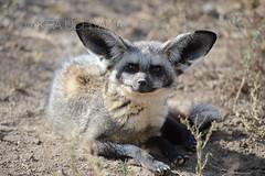 DSC_7876150218 (Akira Uchiyama) Tags: ほ乳類 アフリカ オオミミギツネ キツネ 動物たちのいろいろ 生息地 耳 耳オオミミギツネ