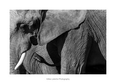 the expression :'' have the head in ... ! '' (gillouvannes56) Tags: elephant beauval zoo animals animaux nature light lumière paysage landscape french france canon 7d colors blackandwhite noiretblanc faune africa afrique réserve