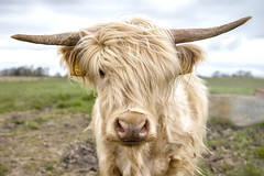 Highland Cow : All Hair And Horns! (Fiona Smith (Prev. Fiona McAllister Photography)) Tags: highlandcow highlandcattle farming livestock scottishlandscape scotland horns scruffy hairy cow cattle