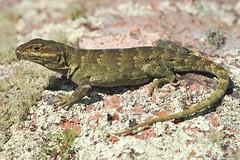 El lagarto achalense ,(Pristidactylus achalensis) (Budi Rebollo Fernandez) Tags: argentina cordoba nikon nature america latinoamérica pasionporlanaturaleza wildnature saurio reptil lagarto gecko