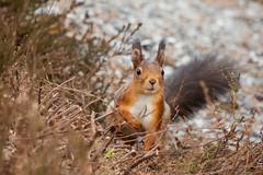 Ekorn / Red squirrel (Marius K. Eriksen) Tags: sciurus vulgaris ekorn red squirrel norge norway nature natureporn naturephotography natur naturfoto røsneskilen animal animals halden østfold