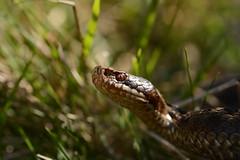 female adder, Vipera berus (willjatkins) Tags: adder snakes snakesofeurope viperaberus viper vipera ukwildlife cotswolds cotswoldwildlife gloucestershirewildlife ukreptilesandamphibians ukamphibiansandreptiles ukreptiles uksnakes britishwildlife britishamphibiansandreptiles britishreptilesandamphibians britishsnakes britishreptiles gloucestershirereptiles macro macrowildlife closeupwildlife closeup closeupadder nikond7100 sigma105mm springwildlife animalportrait adderportrait