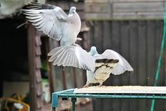 21 April 2017 (28) (AJ Yakstrangler) Tags: yakstrangler pigeon pigeons
