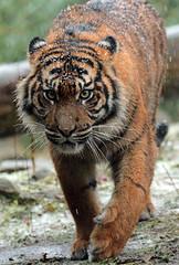 sumatran tiger Burgerszoo JN6A1972 (joankok) Tags: tiger tijger sumatraansetijger sumatrantiger pantheratigrissumatrea kat cat asia azie sumatra mammal zoogdier burgerszoo predator sneeuw snow pantheratigris animal dier