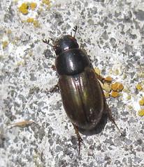 Афодій (Aphodius sp.) 2 (Gansucha) Tags: coleoptera scarabaeidae aphodius