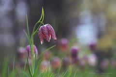 Schachbrettblume (Eleonora Lengemann) Tags: schachbrettblume kiebitzei blume frühling spring lila pink rosa botanischer garten marburg sigma 150 makro macro sony alpha 7ii