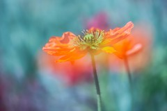 Farbenrausch (SonjaS.) Tags: inselmainau mohn farben colors rausch rot bokeh canon6d 100mm makro frühling spring blumen flowers