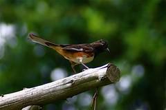 ~   Little Brown Towhee (~ Cindy~) Tags: bird bokeh backyard playing tennessee