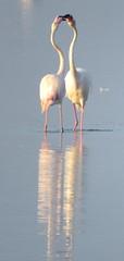 IMG_0006k (gzammarchi) Tags: italia paesaggio natura ravenna marinaromea piallassabaiona piallassa lago animale fenicottero coppia riflesso