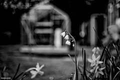 Greenhouse (w.mekwi photography [here & there]) Tags: bokeh plant monochromebokeh dof nature hmbt depthoffield mono niftyfifty nikond800 blackandwhite wmekwiphotography greenhouse