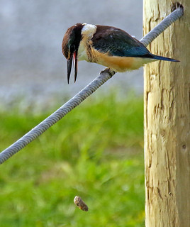 Kingfisher regurgitating a waste pellet