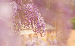 Wisteria (paulapics2) Tags: wisteria spring april floral flora beautiful soft printemps frühling outdoor pastel bokeh depthoffield canoneos5dmarkiii canonef70300mmf456lisusm kingstonlacy dorset garden nature hbw