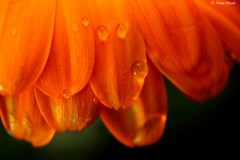 orange (p_@nn@) Tags: orange flowers gocce acqua fiori macro