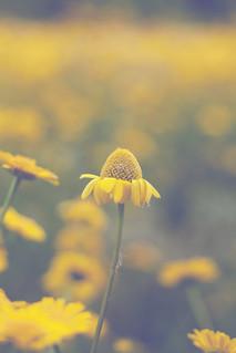 entre campos amarillos