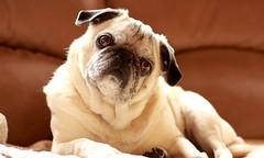 Dookie. 4/2017 (Ed Mahala) Tags: pug dog dookie ed mahala