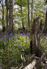 ABC of spring - Bluebells (msscoventry) Tags: coombe abbey coventry