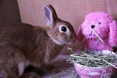 Ichigo san 668 (Ichigo Miyama) Tags: いちごさん。うさぎ ichigo san rabbit bunny netherland dwarf brown ネザーランドドワーフ ペット いちご うさぎ