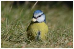 European Blue Tit / Blåmes / Cyanistes caeruleus (G.Claesson) Tags: blåmes europeanbluetit cyanistescaeruleus bird fågel vogel pájaro mes höglandet sverige sweden schweden blå gul vit blauw azul blau blue yellow amarillo gelb white blanco wit gräs grass hierba gras