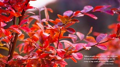 The first of the autumn rains (krillmerma) Tags: autumn rain quote red crepe myrtle port elliot south australia seasons