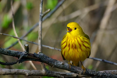 Singing & Dancing! (rmikulec) Tags: warbler yellow bird animal wild wildlife tree nature photograph photography hike trees bushes ontario canada humber bay migration spring