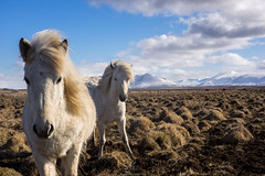 Icelandic horses (NأT) Tags: islande iceland island icelandic horse horses cheval chevaux portrait portraits friends white landscape landscapes paysage paysages photo photographie photography olympus omd em1 zuiko