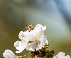 _DSC7545 (KateSi) Tags: cherryblossoms blossoms flowers fleurs blomster cherrytree spring vår primavera printemps white blanche blanco hvitt bees honeybee honeybees abeja abeille bie abejas biers abeilles nikon nikond90 depthoffield nature naturaleza natur