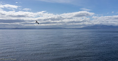 bird in flight (Rourkeor) Tags: ardrossan scotland unitedkingdom gb seagull bird flight arran yacht sea water waves sparkle reflections sunshine clouds tranquil blue horizon seascape island sony sonyrx1r rx1r fullframe carlzeiss zeiss sonnar t 35mm