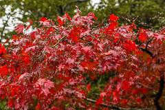 IMG_1661 (Evgeny Gorodetskiy) Tags: himeji maple foliage asia momiji leaves outdoor autumn rain japan park himejishi hyōgoken япония jp