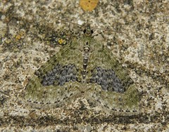Yellow-barred Brindle (Acasis viretata) (Rezamink) Tags: yellowbarredbrindle acasisviretata moths uk