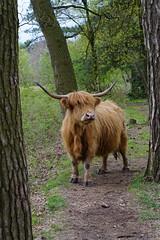 Cow on the path (okrakaro) Tags: cow schottischeshochlandrind rind witteveen animal nature natur landschaft april 2017 niederlande