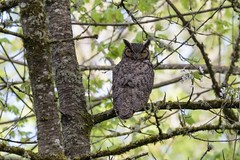 Great horned owl (Bubo virginianus) (Tony Varela Photography) Tags: bubovirginianus greathornedowl owl photographertonyvarela canon