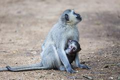 Vervet and baby (Sheldrickfalls) Tags: vervet vervetmonkey satara sataracamp krugernationalpark kruger krugerpark mpumalanga southafrica
