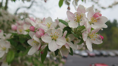 Apple Blossoms (Coyoty) Tags: maluspumila apple tree blossoms cscu connectictutstatecollegesuniversities hartford connecticut ct college flower overcast green white pink parking parkinglot bokeh macro cars blur leaves orange water droplets waterdroplets petals spring weather light lighting naturallight nature flora bloom seasons pastel color beauty beautiful close closeup branches biodiversity outdoor depth dof depthoffield yellow mood obligatory ogt opi owf oyt oot