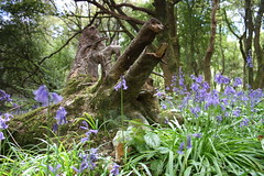 Stumped (adrianwoolgar) Tags: plant petal flower bluebell floor leaves leaf bark fallen rootball root trunk wood forest tree
