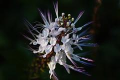 Orthosiphon aristatus (andreas lambrianides) Tags: nsw lamiaceae catswhiskers australianflora orthosiphonaristatus australiannativeplants javatea rainforestplant orthosiphon arfp orthosiphonstamineus australianrainforests australianrainforestplants qrfp arfflowers whitearfflowers tropicalarf subtropicalarf arfherp