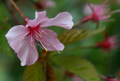 Blossom (Baz B) Tags: pink flower nature spring blossom photographyforrecreation vigilantphotographersunite
