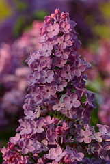 Lilac (Picture Zealot) Tags: pink flowers color purple bokeh background lilac canon100mm