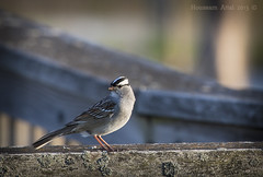 White crowned sparrow (Sam Attal) Tags: white birds michigan wildlife  sparrow refuge crowned shiawassee saginaw attal houssam houssamattal