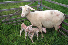 Mutterschaf (Pixelkids) Tags: animal sheep newborn lamb mouton tier schaf agneau lamm brebis neugeborenes