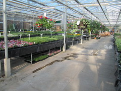 Bedding plants and hanging baskets (wallygrom) Tags: england westsussex bankholidayweekend angmering manornursery manornurseries