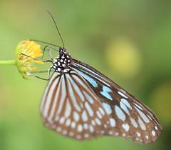 Ceylon Blue Glassy Tiger / Ideopsis similis / () (TANAKA Juuyoh ()) Tags: park high hires resolution 5d hi res tochigi markii mooka similis  ceylonblueglassytiger ideopsis      igashira taxonomy:binomial=ideopsissimilis