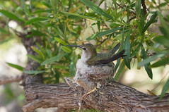"Hummingbird Nesting • <a style=""font-size:0.8em;"" href=""http://www.flickr.com/photos/94329335@N00/9003495340/"" target=""_blank"">View on Flickr</a>"