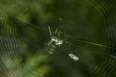 Spider eating series 1 (Richard Ricciardi) Tags: spider eating web spinne araa  araigne ragno timeseries     gagamba    nhn  spidertimeseries