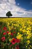 Summer Colours (djshoo) Tags: flowers summer england sky field clouds landscape nikon colours sigma crop poppies wideanglelens polariser 2013 leefilters