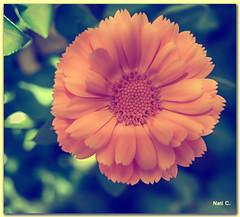 Con un toque vintage... (Nati C.) Tags: vintage flor nik cruzadasgold cruzadasi