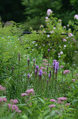 Clouds of Pink and Purple in the Summer Garden