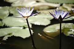 Water lily (ddsnet) Tags: plant flower waterlily sony taiwan   taoyuan aquaticplants 900         lily water    900 nymphaeatetragona    nymphaea plants   aquatic nymphaea tetragona tetragona