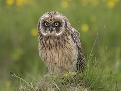 Short-eared Owl 24 (brandugla) (Svenni and his Icelandic birds.) Tags: shortearedowl asioflammeus brandugla