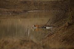 Royal Bengal Tiger (varmarohit) Tags: india nature tiger jungle rohit naturephotography wildlifephotography tadoba indianforest royalbengaltiger ptigris lifeinthejungle subadulttiger rohitvarma