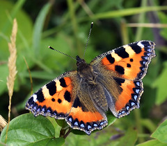 Butterfly (n.j.coomber) Tags: nature countryside interestingness interesting wildlife chilterns butterflies insects tortoiseshell bugs hertfordshire aglaisurticae smalltortoiseshell schmetterling aldbury chilternhills hnhs aldburynowers nikond5100 hertfordshiresfauna